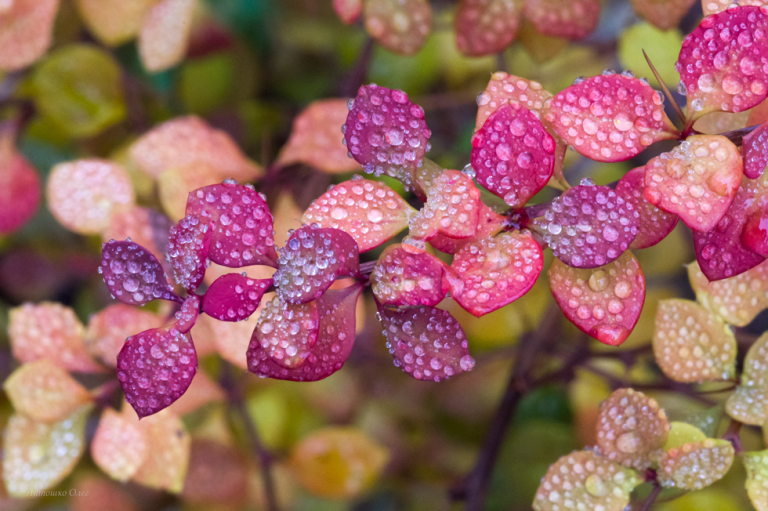 Drops on barberry.
